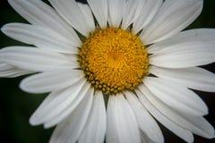 Nahaufnahme der Kamillenblume lizenzfreie stockbilder