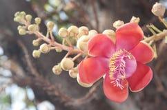 Nahaufnahme der Kanonenkugelblume am Sonnenscheintag Stockfotos