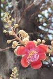 Nahaufnahme der Kanonenkugelblume am Sonnenscheintag Stockfoto