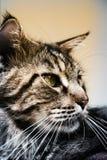 Nahaufnahme der Katze der Maine Coon-Schwarzgetigerten katze mit Grün Lizenzfreie Stockfotos