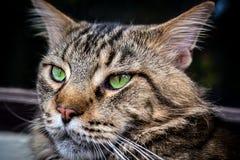 Nahaufnahme der Katze der Maine Coon-Schwarzgetigerten katze mit Grün Lizenzfreie Stockfotografie