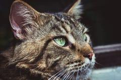 Nahaufnahme der Katze der Maine Coon-Schwarzgetigerten katze mit Grün Lizenzfreie Stockbilder