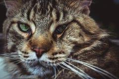 Nahaufnahme der Katze der Maine Coon-Schwarzgetigerten katze mit Grün Stockfotos
