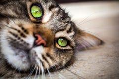 Nahaufnahme der Katze der Maine Coon-Schwarzgetigerten katze mit Grün Stockfotografie