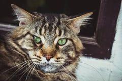Nahaufnahme der Katze der Maine Coon-Schwarzgetigerten katze mit Grün Stockbild