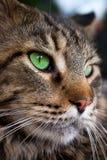 Nahaufnahme der Katze der Maine Coon-Schwarzgetigerten katze mit Grün Lizenzfreies Stockbild
