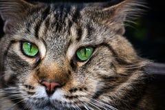 Nahaufnahme der Katze der Maine Coon-Schwarzgetigerten katze mit Grün Stockbilder