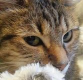 Nahaufnahme der Katzen-2 Lizenzfreie Stockfotografie