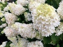 Nahaufnahme der kegelförmigen Blüte der weißen Pipigee Hortensien im Sommer stockfoto