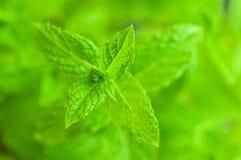 Nahaufnahme der klar grünen Anlage der frischen Minze lizenzfreie stockfotos
