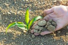 Nahaufnahme der kleinen Maispflanze von der biologischen Landwirtschaft mit Bauernhof Lizenzfreie Stockfotos