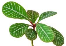 Nahaufnahme der kleinen Palmblätter, getrennt auf Weiß Stockfoto