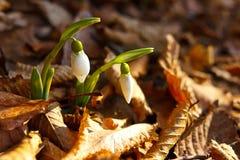 Nahaufnahme der kleinen snowdrops im Frühjahr Jahreszeit Stockfotos