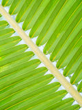 Nahaufnahme der Kokosnuss verlässt Muster und Hintergrund Stockbild