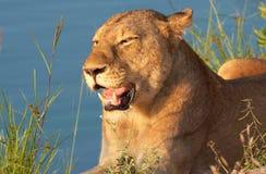 Nahaufnahme der Löwin (Panthera Löwe) Lizenzfreies Stockfoto