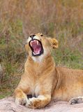 Nahaufnahme der Löwin (Panthera Löwe) Stockfoto