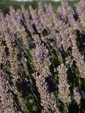 Nahaufnahme der Lavendelblume Lizenzfreies Stockfoto