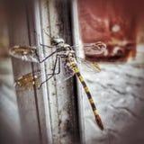 Nahaufnahme der Libelle Stockfotos