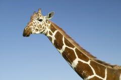 Nahaufnahme der Masai-Giraffentreppe in Kamera an der Erhaltung Lewa-wild lebender Tiere, Nord-Kenia, Afrika Stockbild