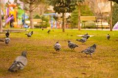 Nahaufnahme der Menge der Tauben, die nach Lebensmittel in einem grünen Rasen in einem Park suchen stockfoto