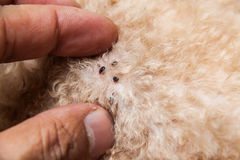 Nahaufnahme der Milbe und der Flöhe angesteckt auf Hundepelzhaut lizenzfreie stockfotos