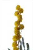 Nahaufnahme der Mimose Stockbild