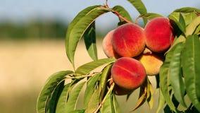 Nahaufnahme der Niederlassung mit frischen reifen Pfirsichen und Blättern auf dem Baum Sonniger windiger Tag stock footage