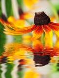 Nahaufnahme der orange Blume reflektierte sich im Wasser Stockfotografie