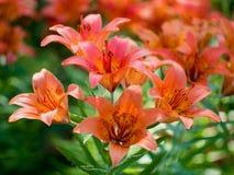 Nahaufnahme der orange Knospe der Lilienblume Stockbild