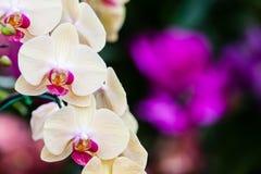 Nahaufnahme der Orchideenblume, Phalaenopsisorchidee Lizenzfreie Stockbilder
