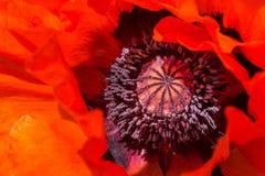 Nahaufnahme der orientalischen Mohnblume, Papaver orientale Stockbilder