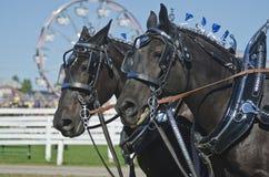 Nahaufnahme der Percheron Entwurfs-Pferde am Land angemessen Stockfotos