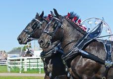 Nahaufnahme der Percheron Entwurfs-Pferde am Land angemessen Stockbilder