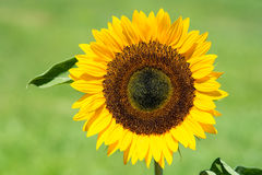 Nahaufnahme der perfekten Sonnenblume Lizenzfreie Stockfotografie