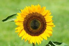 Nahaufnahme der perfekten Sonnenblume Stockbild