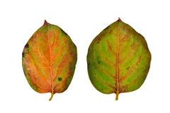 Nahaufnahme der Persimone verlässt im Herbst, lokalisiert auf weißem backgr Lizenzfreies Stockfoto