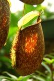 Nahaufnahme der Pitcher von Nepenthes Lizenzfreies Stockfoto