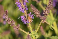 Nahaufnahme der purpurroten blühender Pflanze und der Biene stockfoto