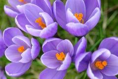 Nahaufnahme der purpurroten Krokusse Lizenzfreies Stockfoto