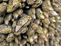 Nahaufnahme der Rankenfußkrebse auf einem Felsen Stockbild