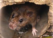 Nahaufnahme der Ratte auf einem Abwasserkanal könnte die Biene, die vom Abflussgitter gesehen wurde Lizenzfreies Stockfoto