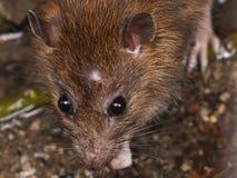 Nahaufnahme der Ratte auf einem Abwasserkanal könnte die Biene, die vom Abflussgitter gesehen wurde Lizenzfreies Stockbild