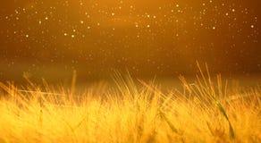 Nahaufnahme der reifenden Gerste des gelben Weizenfeldes auf dem Himmel /orange /gold des Sonnenuntergangs bewölkten gelben ultra Stockfotografie