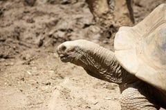 Nahaufnahme der riesigen Schildkröte Lizenzfreies Stockfoto