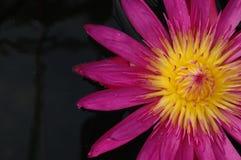 Nahaufnahme der riesigen Wasser-Lilie in einem Teich Lizenzfreie Stockfotografie