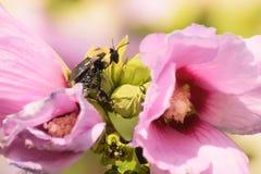 Nahaufnahme der rosa blühender Pflanze und der Biene stockbild