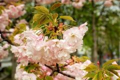 Nahaufnahme der rosa Kirsche blühend mit Regentropfen an einem Frühlingstag Kirschblüte-Blütenstand mit kleinen Blättern r stockfotografie