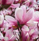 Nahaufnahme der rosa Magnolienblumen Lizenzfreie Stockfotos