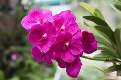 Nahaufnahme der rosa Orchidee im Garten lizenzfreie stockfotografie