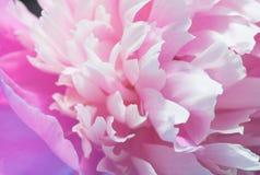 Nahaufnahme der rosa Pfingstrose Lizenzfreies Stockbild
